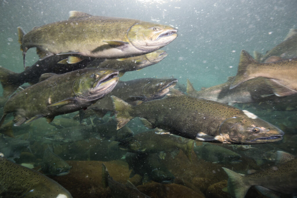 Underwater picture of many salmon swimming in the river during the spawning season.